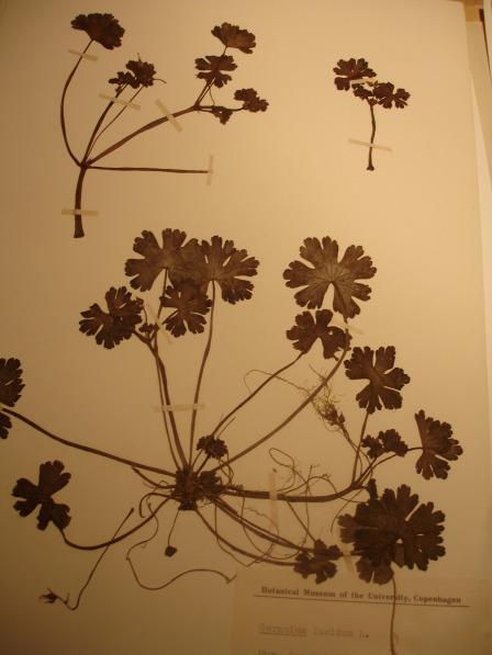 Alfred Hansens geranium